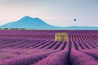 Lavender Fields at Sunrise, Valensole, in Provence, France