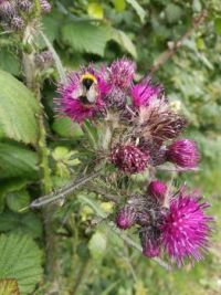 Bee dining on a Cornish Thistle
