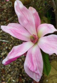 "Magnolia ""Daybreak"""