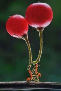 2 ants carrying berries