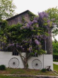 Wisteria Barn, Cobourg Ontario, Linda Ladanyi-Williamson