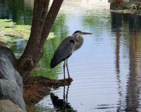 Vacation Island - Great Blue Heron