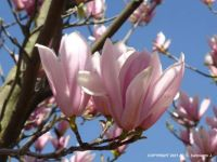 "MORNING WALK – ""Red Lucky"" Magnolia"