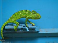 Green Cameleon on Blue Door