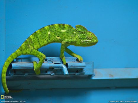 Green Cameleon on Blue Door