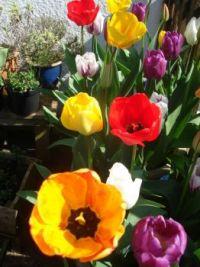 garden tulips 005