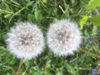 Dandelion Puffs--or two eyes looking at you?