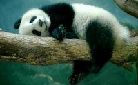 Panda szieszta