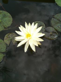 My Yellow Waterlily