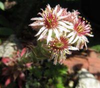 Succulent in bloom  (close up)