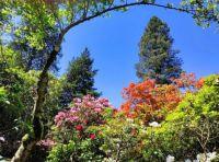Rhododendron Naomi Glow and Azalea Gog