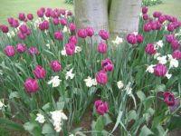 tulip 035