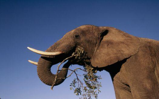 World Most Dangerous Animals -  African Elephant