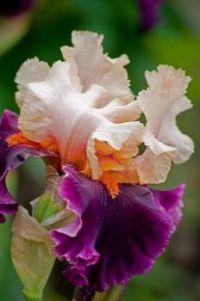 Light Pink-Orange-Purple Iris