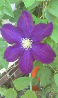 Purple Climatis