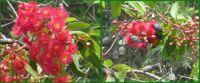 Red gum flowers and Rainbow Lorikeet ..