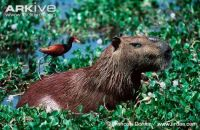 Male-capybara-with-jacana-on-its-back