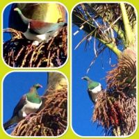 NZ Wood Pigeon ...Kereru