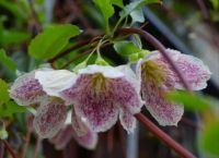 Freckles Clematis