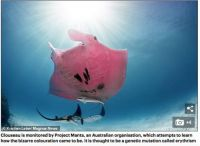 Rare Pink Manta Ray --- another picture