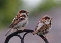 house-sparrows