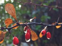 barberry and rain--medium