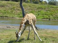 giraffe at werribee Zoo