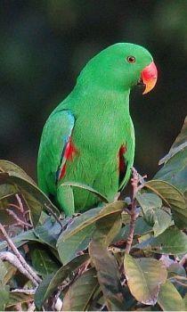 Nog een papagaai