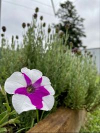 Petunia, lavender and a silky oak