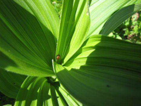 Ladybug on False Helebore