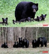 Very Rare Black Bear Quintuplets. Two are Normal. Especially for my e-mail Friends.