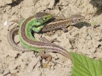 Couple of sand lizards