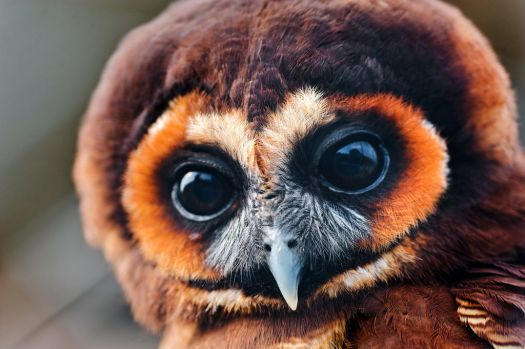 Pretty Brown Owl by Tambako the Jaguar