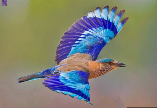 indian roller in flight!!!!!