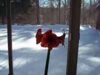 amaryllis observing winter in Massachusetts 2015