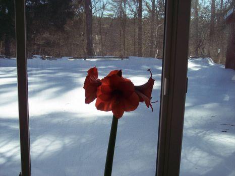 amaryllis observing winter in Massachusetts 2015