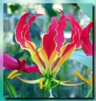 Gloriosa Lily at its Prime...
