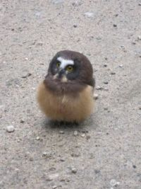 young northern saw-whet owl