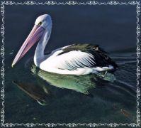 Pelican at Lakes Entrance.