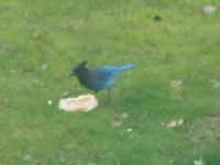 Stellars Jay Munching Hot Dog Bun