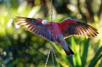 Galah on the feeder in the garden ...