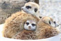 Meerkats - Cincinnati Zoo & Botanical Gardens