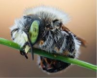 A sleeping Megachild bee
