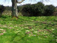 Primroses everywhere. St. Germoe, Cornwall.