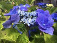 Blue Wave hydrangea macrophylla