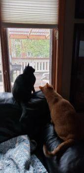 Ebony & Papaya watching bird on catio - May 2020