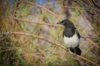 A BLACK-BILLED MAGPIE
