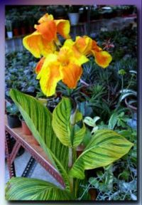 Canna Lily plant in bloom