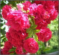 Růže stále kvetou...  Roses are still blooming ...