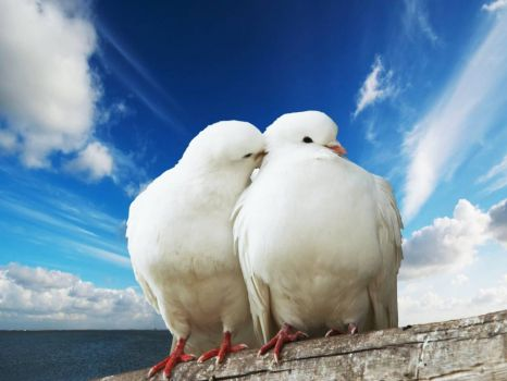 White Doves Couple